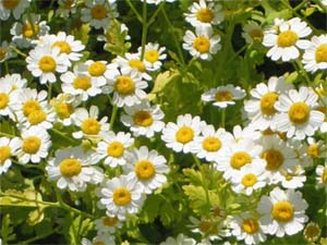 Feverfew for Migraines